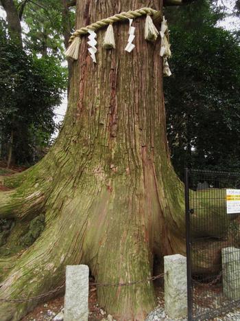 樹齢450年以上ともいわれる大きな杉の木。根っこの形がタコの足に似ていることから「タコ杉」と呼ばれ、親しまれています。隣には頭をなでると運を引き寄せる「開運ひっぱりだこ」というオブジェもありますよ。