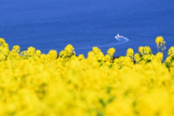花の島としても知られている淡路島にある、花の名所「あわじ花さじき」。海に向かって広がる敷地に花畑が広がり、季節によってさまざまな花が咲き誇る姿を見られます。春には菜の花が咲き、一面黄色に!3月上旬から咲き始めますよ。その他にも、4月にはムラサキハナナ、4月中旬から5月にかけてはポピーが咲く美しい景色を楽しめます。