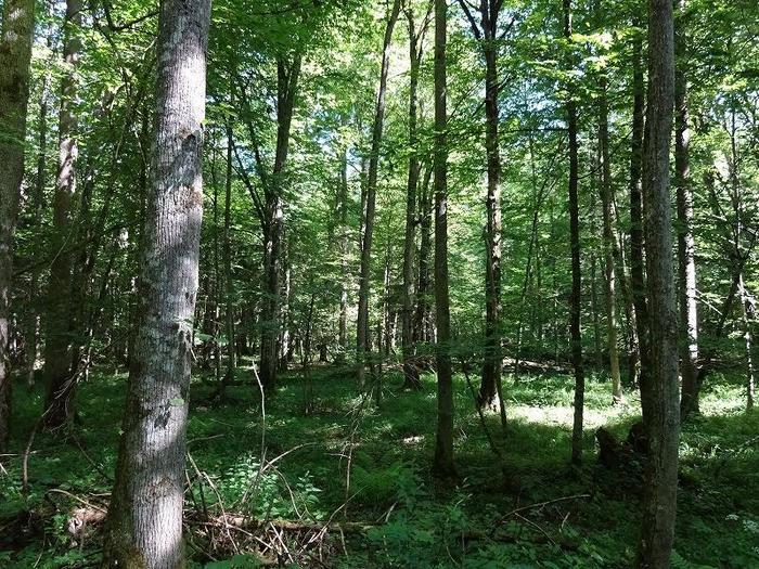 ポーランドとベラルーシの国境にまたがる、約12万8000ヘクタールもの広大な原生林「ビャウォヴィエジャの森」。世界遺産にも指定されているこの森は、ヨーロッパでは唯一人の手が入っていない自然が残された貴重な場所です。