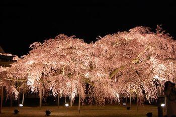 花灯路以外にも、春は各所で桜のライトアップが開かれます。中でも美しいのは二条城の桜。ライトアップされた名所は、昼間とはまた違った顔で私たちを迎えてくれます。昼間訪れても、夜に改めて足を運びたい美しさです。