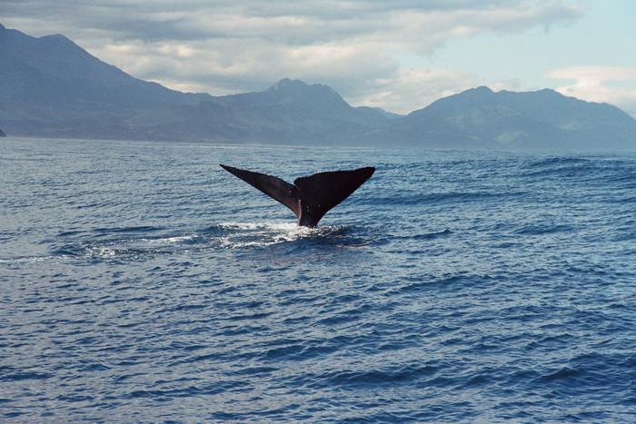 海を眺めていると…、マッコウクジラをはじめとする、様々な種類のクジラと遭遇するチャンスがあります!