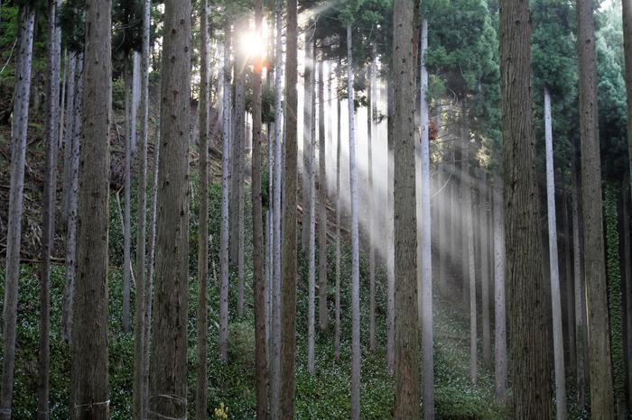 もうミツマタ・ジャガの季節は終わってしまいましたが、この場所には見所がまだまだあります。そのひとつがこちら!杉林に差し込む木漏れ日の塩梅が、なんとも幻想的。パワースポットではないのに、どこか神がかっている風景ですよね。  今年から休憩所「花やどり」がオープンしているので、今のこの暑い夏でも安心して訪れることが出来ますよ!森の中は舗装されていないので、スニーカーやトレッキングシューズを履いて行かれることをおすすめします。