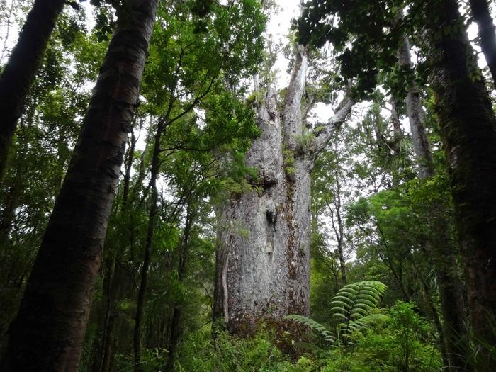 樹齢2000年を超える古代木「カウリ」を目指すトレッキングツアーもおすすめ。どこを見ても大スケールな原生林に圧倒されながら、自然の神秘を実感できます。