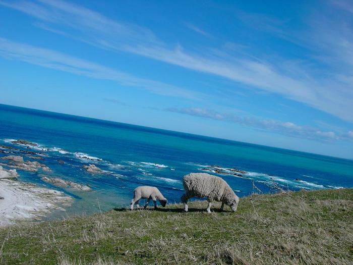 カイコウラは、南島の東側にある美しい港町。そんなカイコウラの海岸に行くと、羊やアザラシたちに出会えますが、なんとクジラを見れることも。ホエールウォッチングができる場所として有名なんです。