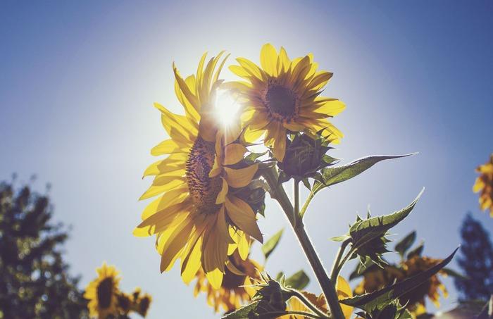 暑い中の旅行や移動などもあり、私たちの体は、太陽を浴びて元気に咲き誇るひまわりのようにはなかなかうまくいかないもので、どっと疲れがたまりやすい月でもあります。