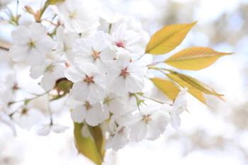 三仏堂の前にあるお庭には、樹齢500年といわれる金剛桜があります。国の天然記念物にも指定されているほどで、毎年見事な花を咲かせます。春に訪れて、咲いているところを見たいですね。