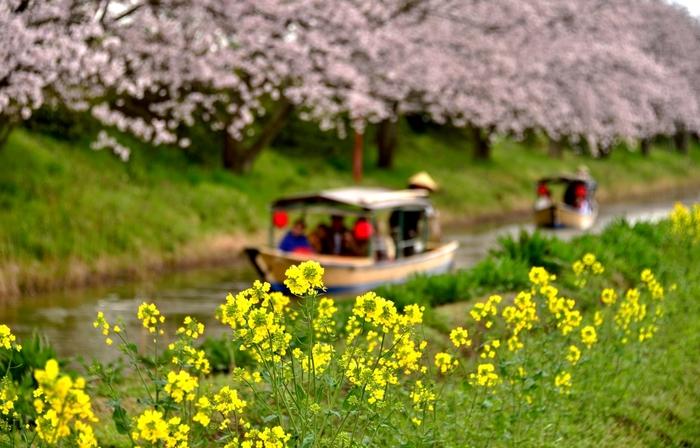 近江八幡の水郷は、琵琶湖八景として数えられており、屋形船で桜や新緑、紅葉など四季折々の自然を楽しむことができます。西の湖水郷めぐりのほか、八丁堀を屋形船でめぐるコースもあります。