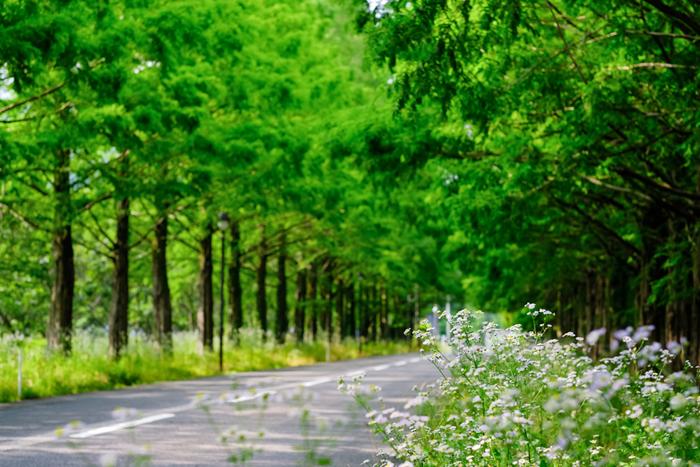 高島市マキノ町にある、メタセコイア並木道は新日本街路樹百景にも選定されている観光スポットです。