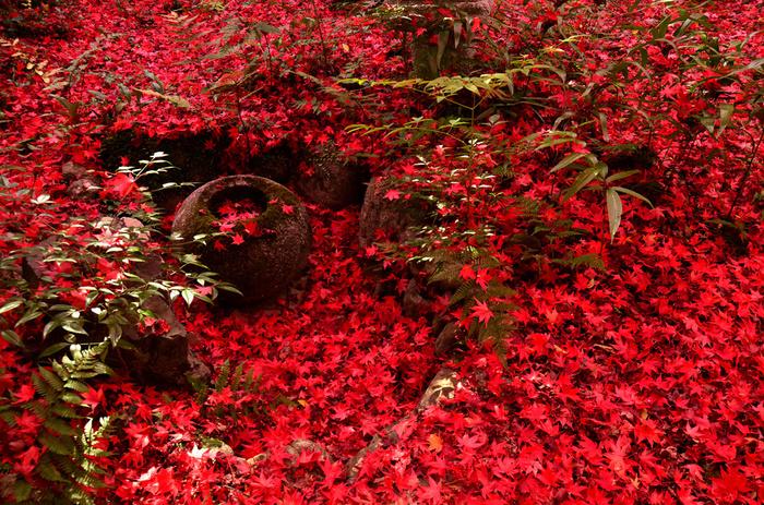 京都嵯峨野にある小さなお寺「厭離庵(えんりあん)」は、紅葉の時期のみ一般公開されている知る人ぞ知るスポット。 見どころは苔むすの庭の「散り紅葉」。深紅に染まった葉が庭を覆いつくす景観は格別の美しさです。お寺の静寂な雰囲気と一緒に楽しみたい場所です。