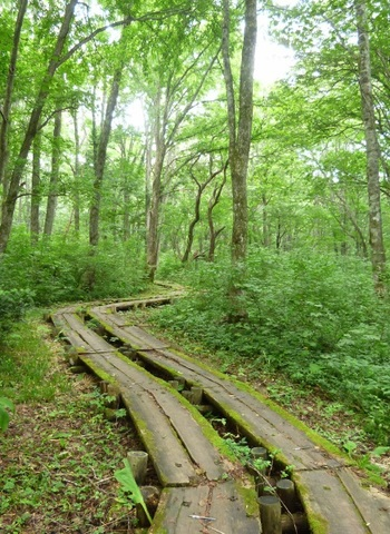 木道が整備されているのは上高地や八島ヶ原湿原と同じ。71haの広さは1周するのに2時間かかるそう。また、くまさんも生息する森ですから、音の出る鈴を持っていきましょう。