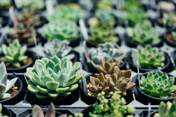 「多肉植物」とは、葉や茎、根に水分をためられる、多肉質の植物の総称です。南アフリカや南米など、雨の少ない地帯が主な原産地。砂漠や海岸といった、極度に乾燥した環境や塩分の多い土地で生き抜くために、適応したと考えられています。原種、品種改良ともに個性豊かで、色の変化や花を楽しめるタイプもあります。