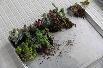 苗をポットから出し、根をほぐしながら並べていきます。どの苗を中心にして、どの苗をサブに置いてまとめていくか、想像力を豊かに…。 イメージよりも苗が大きい場合は、剪定しましょう。