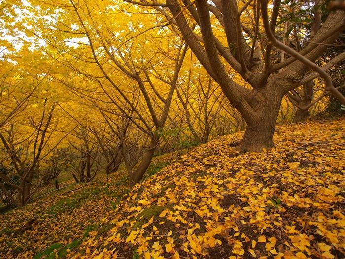 傾斜地に立ついちょうも見ごたえがありますね。開聞岳や桜島、垂水市を一望できる景観も魅力です。園内で採れたぎんなんも販売していますよ。