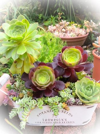 「アエオニウム」も、エケベリアのように、ロゼットのような形を楽しめます。夏場に休眠期を迎えて一時的に成長が止まり、冬に生育する「冬型」の一種でもあります。とはいえ、寒さにとても強いわけではなく、適度な日当たりの屋外を好みます。  葉の色はバリエーション豊かで、鮮やかな緑をはじめ、黄色、紫、黒系までありますよ。  こちらは、陽を浴びて葉っぱが成長するにつれて、だんだん濃い赤紫色へと変化する品種、カシミアバイオレット。黒く濃い色になる黒法師も人気。成長する様子が目に見えてわかるのは、嬉しいものです。