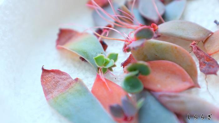 「葉挿し」とは、とれた葉を土の上に置くだけで増やせる方法のことです。品種によっては向き不向きがありますが、基本的に、1枚の葉を新しい土を入れた鉢にのせておくだけで、そこから自然と新しい芽が生えてきます。ただのせておくだけで新しい芽が生えてくるので、方法はとても簡単!