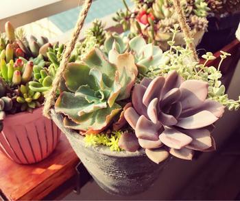 鉢に紐を付けてハンギングに。置き場のない窓際などで、陽の光を浴びるのによいですね。