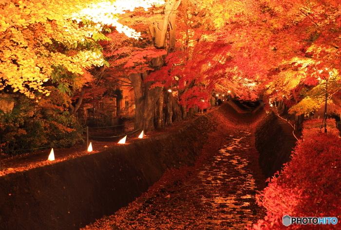 富士山が望める河口湖周辺にある「もみじ回廊」。湖の北岸約150m続くモミジのトンネルです。夜間にはライトアップされモミジの「赤」が幻想的に浮かび上がります。