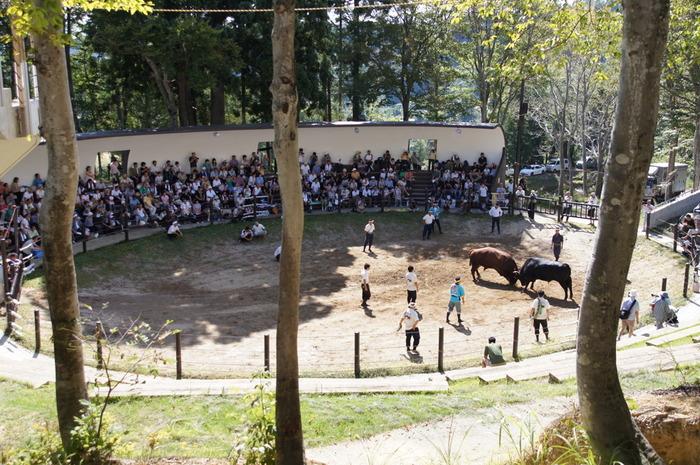 山古志地区では国の重要無形民俗文化財の「牛の角突き」を見ることができます。山古志の闘牛の歴史1000年以上前から続くと伝えられており、牛を傷つけずに引き分けにするのが特徴。大きな牛がぶつかり合う姿は迫力満点です。 闘牛の開催日は決まっているため、事前に確認をしておきましょう。ちなみに、闘牛が開催されていない日でも、山古志と牛の歴史を紹介するギャラリーの見学は自由にすることができますよ。