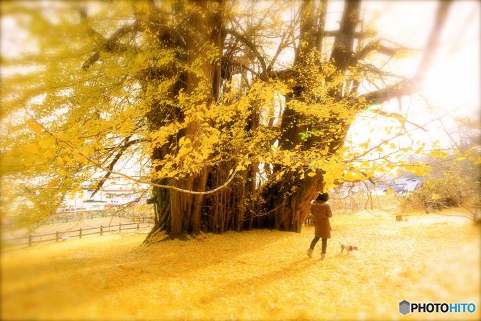 青森県深浦町にある日本一の大きさを誇る大銀杏。樹齢は1000年を超えており、その風格や佇まいに圧倒されます。色づいている時期はもちろんのこと、落ち葉が道を埋めつくす景観も息をのむ美しさ。人が少ない早朝、光が差し込む頃に黄金の絨毯を歩くのもいいですね。