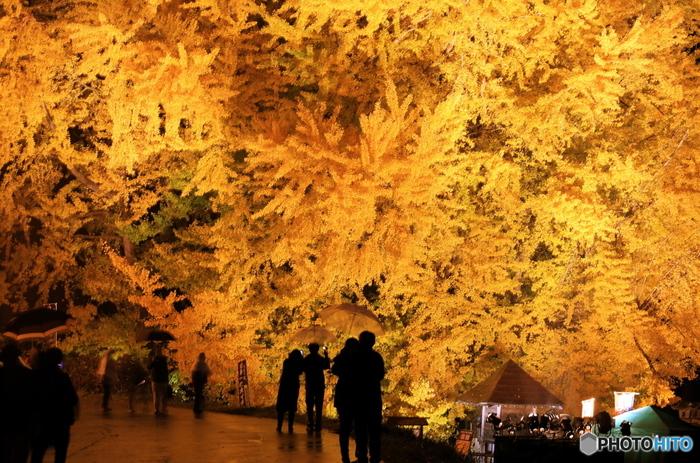 大迫力のイチョウは、鎌倉時代の老木で高さ31m、幹周22m。国の天然記念物に指定されています。見ごろはだいたい11月中旬から下旬ごろだそう。夜間はライトアップされ、昼間とは違った幻想的な景色を楽しむことができます。