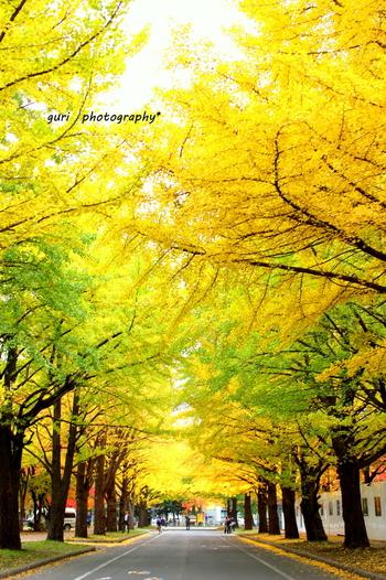 北海道大学の構内にあるイチョウ並木。全長約380mもあり、大きく成長したイチョウの葉が鮮やかな黄色に染まる景色は圧巻です。写真のように緑の部分が少し残る時期も爽やかでいいですよ。並木道を歩いていると、まるで黄色のトンネルの中に迷いこんだような錯覚に陥ります。一般の人も入場可能です。