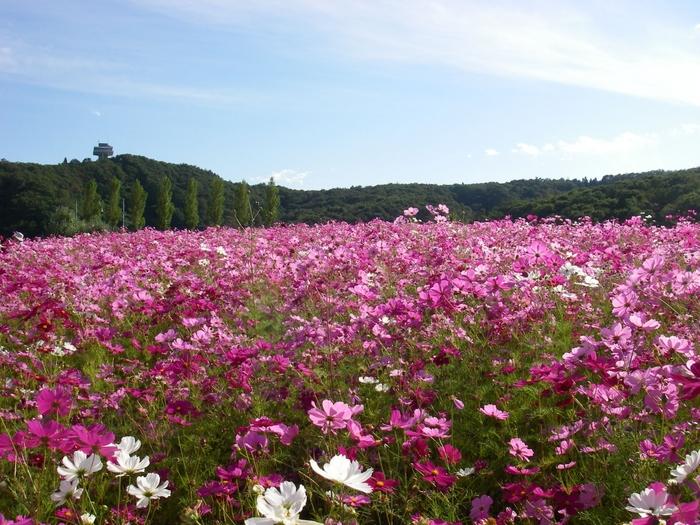 JR長岡駅からバスを利用して40分ほどのところにある「国営越後丘陵公園」は、季節によりさまざまな花が咲き誇る景色を堪能できる公園です。春にはチューリップやバラ、夏はマリーゴールド、そして秋になるとコスモスが美しく咲く姿を見せてくれます。
