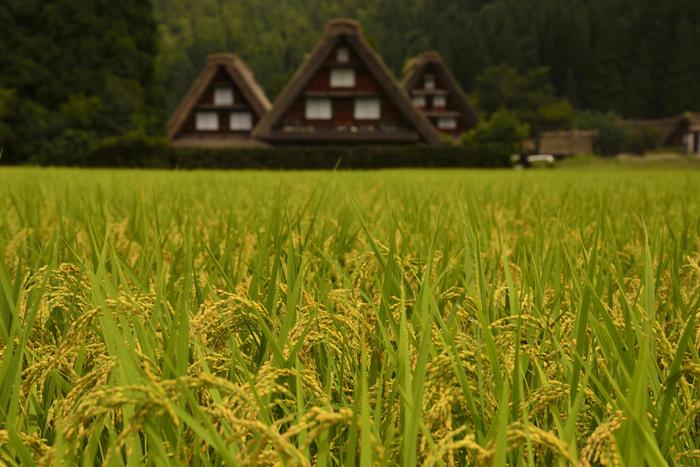 新米とは、その年に収穫された新しいお米のこと。お米は産年の区切りを「米穀年度」というお米ならではの数え方で数えます。米穀年度では、11月1日から10月31日までの1年を区切りと考え、その年度末、つまり10月31日に属する暦年が「年度」となります。