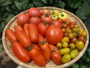 トマト缶は大体400グラム前後で、生のトマトに換算すると中玉4~5個程度が目安ですが、トマトによって重さや水分量が違うので、味付けの時に調節してみて下さい。生トマトの酸味が苦手な場合は、砂糖またはハチミツを足すと、さっぱりしながら酸味がまろやかになります。