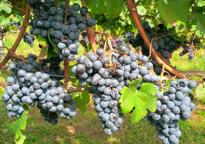 こちらは、「カベルネソーヴィニヨン」の畑です。「シャルドネ」などぶどうの品種を表示しているので、いつも飲んでいるワインのぶどうも見ることができるかもしれません。
