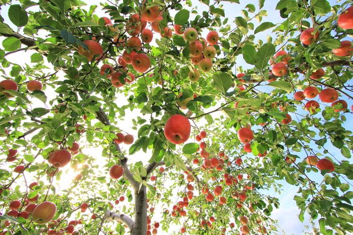 また、秋はたくさんの果物が旬を迎えるベストシーズンでもあります。品種によっても異なりますが、桃・ぶどう・梨・リンゴ・柿etc…甘くてみずみずしい秋の果物の美味しさは抜群!今回は、秋の食材をメインに使った季節のレシピをご紹介します。