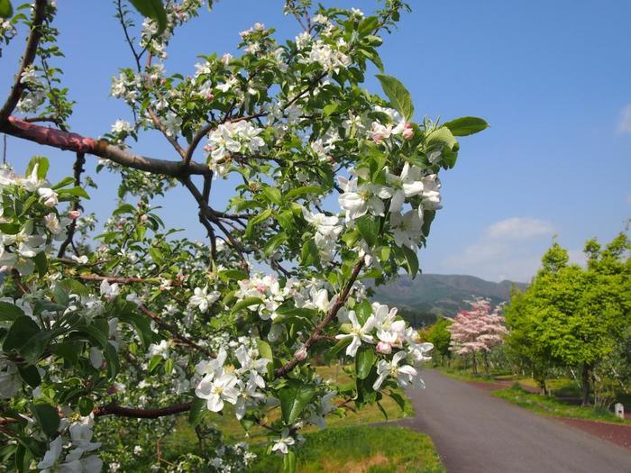 """桜や菜の花が咲く雪解けの春、水田が眩しい新緑の頃、渓流の涼やかな夏、りんごも稲田も色付く秋、雪景色の冬と、一年を通して、川場ならではの四季折々の景観、のどやかな風景を楽しめます。  【りんごの花咲く5月上旬の頃の「田園プラザ川場」の""""お散歩ゾーン""""の遊歩道】"""