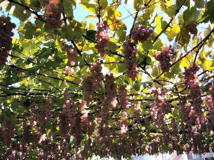 10月に入ってから訪れても約10種類のブドウを狩ることができるなど、品種の豊富さが嬉しいブドウ園です。
