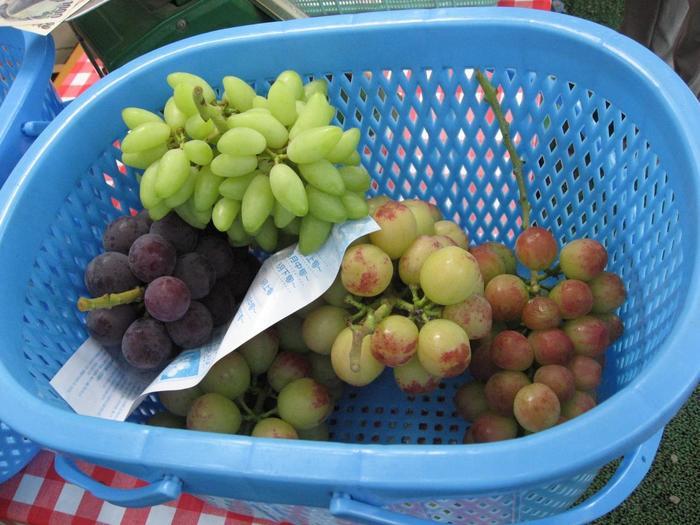 おなじみのデラウェアやピオーネをはじめ、一見マスカットのように見える黄緑色の果皮をしたナイアガラや、高級フルーツとして知られるシャインマスカットなど、世界各国のブドウ、30種以上が時期により楽しめます。何が食べられるか楽しみにしながら車中で予想しながら出掛けましょう♪
