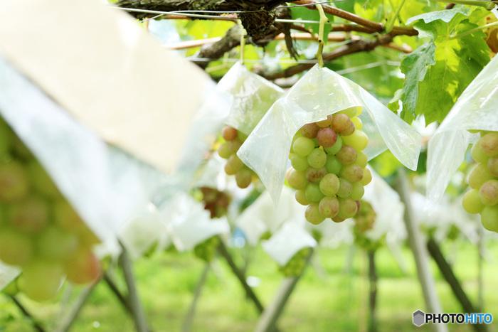 秋のフルーツの代表でもあるブドウ。甘酸っぱくて1粒、また1粒……と気づけば1房をペロリなんて人もいるのではないでしょうか。そんな秋の味覚、自分で取ればさらに美味しさ倍増ですよね♪