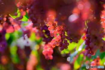 海外では、水が少ない地域で飲み物としてワインを作るために古代からぶどうがたくさん栽培されていましたが、水の多い日本ではそれほど盛んに作られていませんでした。そのため、フルーツとしてぶどうを楽しむ習慣もあまりなかったのだとか。