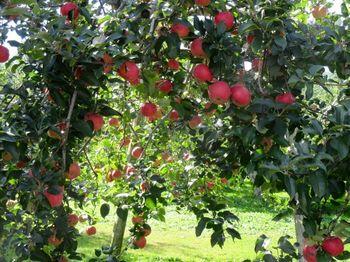 """中之条町の沢田地区は""""りんご村""""とも呼ばれるほど、秋になると真っ赤に実ったリンゴの景色が楽しめます。"""