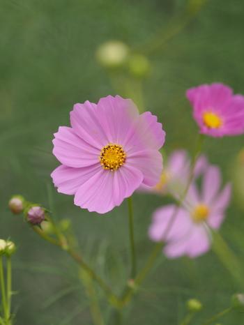 秋の季語としても使われるコスモスは、繊細で儚いイメージのお花です。花言葉の意味を考えながら、いくつかの色を合わせてみるのも面白いですね。