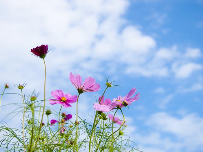 秋の桜と書いてコスモス。ピンクのやわらかな花弁を持つコスモスは、まさに秋に咲く桜のようなお花です。日本の秋を代表するお花のひとつですよね。でも、実はコスモスにもいろいろなカラーがあり、花言葉もそれぞれ違います。