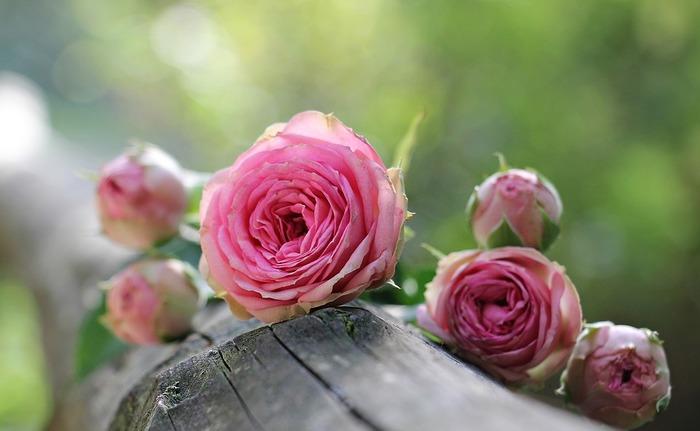 バラは様々な品種があり、一年を通してみられるお花になりました。秋にみられるバラは、四季咲きのもので、11月終わりごろまで楽しめます。春に咲くものよりも、ぐっと落ち着きのある雰囲気で、シックなインテリアにもよく合います。