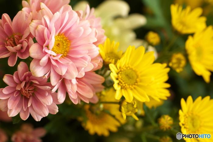 菊は日本では平安時代から観賞用として親しまれてきたお花で、昔は薬草としても使われていたそうです。非常に種類が多く、品評会なども頻繁に行われています。お花の直径が20cm以上ある大菊から愛らしいスプレー菊のような小菊まで、お花の大きさも様々です。