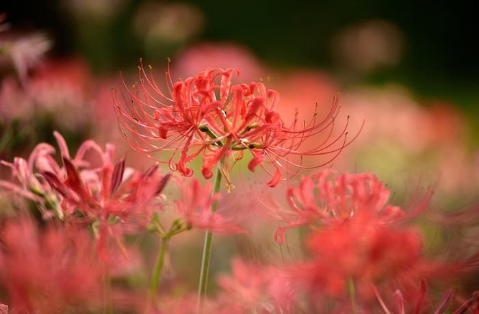 お彼岸の頃に咲く、彼岸花は曼殊沙華という美しい名を持つ秋を代表するお花のひとつです。非常に繊細な雰囲気でありながら、真っ赤な色味が目を惹く雅なお花ですよね。でも、実は、白や黄色といった彼岸花もあるのをご存知ですか?花言葉も色によって異なります。