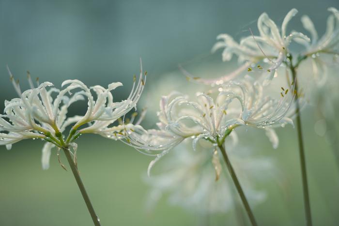 白い彼岸花は、とても幻想的。くるりと巻いた花びらが一段と優雅な雰囲気を醸し出しています。赤い彼岸花よりもちょっぴり特別な印象を受けますね。