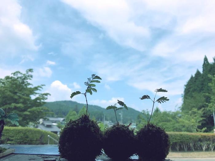 丸い苔玉に、小さくちょこんと1本だけ伸びた姿は、なんとも可愛らしくて微笑ましいですね。