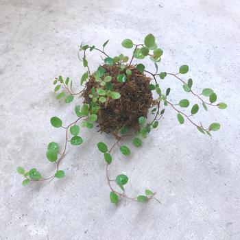 合わせる植物次第で、ナチュラルなアレンジも可能です。あちらこちらに伸びていく様子が可愛らしいワイヤープランツの苔玉です。吊るして飾るのが似合いそうですね。
