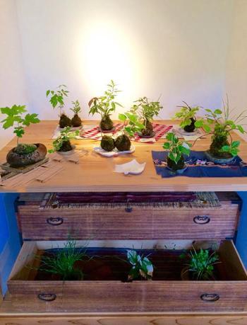 苔玉専用のディスプレイコーナーのようにして飾るアイデアです。ライトで照らせば、それぞれの苔玉の素敵さが際立ちます。