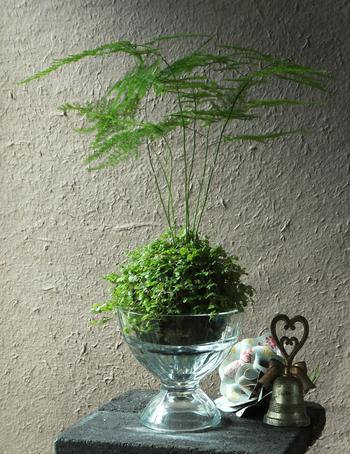 ガラスの器に、こんもり可愛い苔玉をそっと飾って。凛とした印象に。