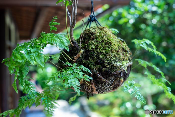 窓辺やベランダに吊るして飾るのも可愛いですよ。動きのある植物の苔玉は、吊るして飾るのによく合います。