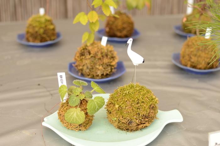 苔玉は、ひとつだけでも絵になりますが、たくさん並べると可愛らしさがぐっと増します。 ころころ丸い苔玉をたくさん並べたコーナー。
