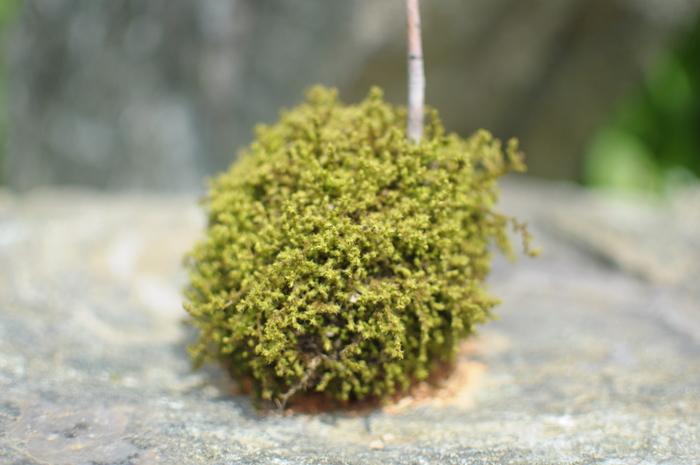 丸くて愛嬌のある『苔玉』。可愛らしく、育てるのもさほど難しくないので、植物初心者さんにもおすすめです。 また、苔玉に別の植物をプラスしたり、容器もいろいろと選べるので、自分好みにアレンジして楽しみませんか?