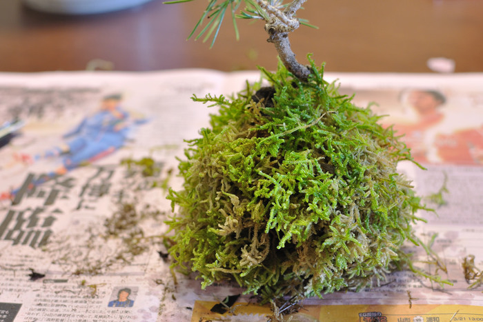 苔玉の作り方は、意外に簡単なんです。好きな植物を保水性の高い土で丸く包んで、その周りに苔を張り付けてテグスを巻いてほどけてこないようにするだけです。材料は、ホームセンターなどでお手軽に手に入ります。